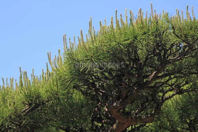 松の花穂の写真素材 [FYI04136829]
