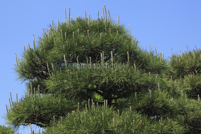 松の花穂の写真素材 [FYI04136830]