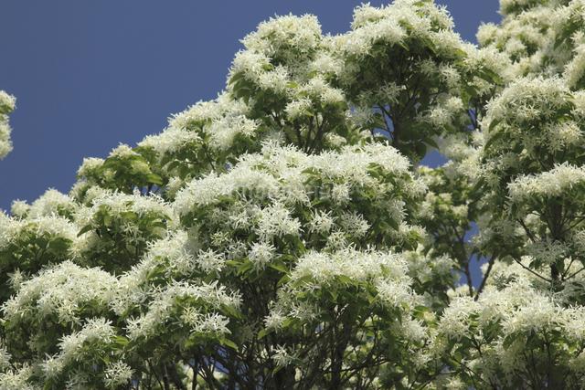 ナンジャモンジャの木の写真素材 [FYI04136842]