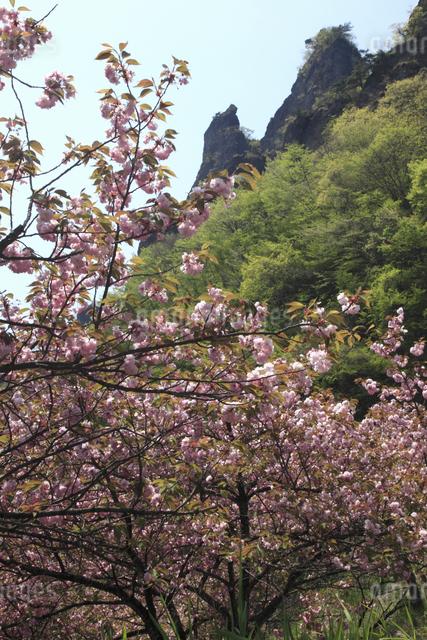 八重桜と岩峰(妙義山)の写真素材 [FYI04136845]