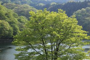 新緑と碓氷湖の写真素材 [FYI04136847]