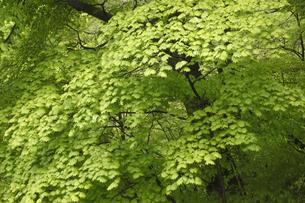 新緑の写真素材 [FYI04136857]