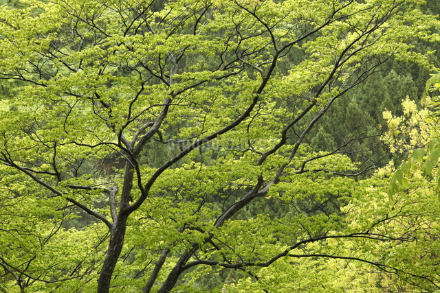 新緑の写真素材 [FYI04136859]