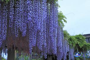 フジの花の写真素材 [FYI04136865]