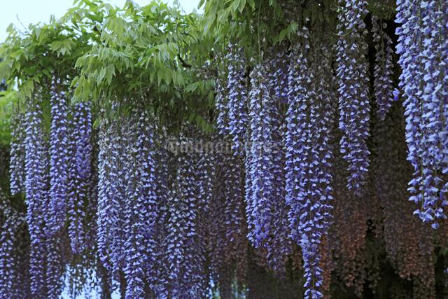 フジの花の写真素材 [FYI04136866]