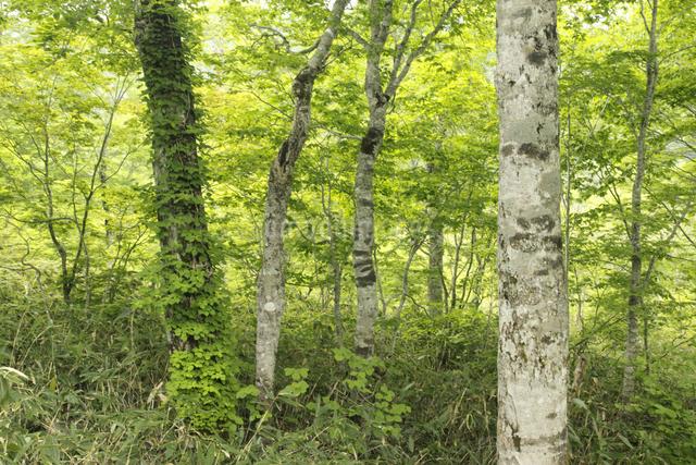 ブナの森の写真素材 [FYI04136885]