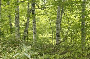 ブナの森の写真素材 [FYI04136886]