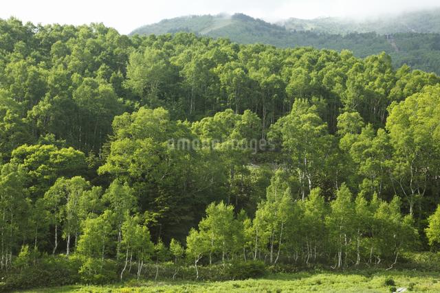 緑の白樺林の写真素材 [FYI04136911]