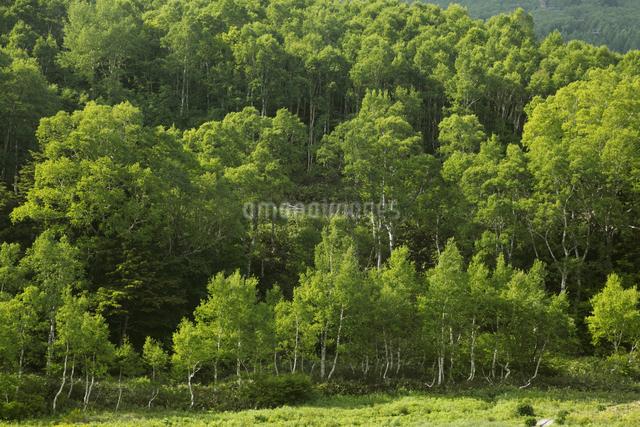 緑の白樺林の写真素材 [FYI04136912]