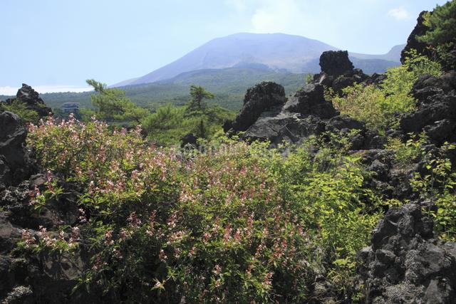 溶岩とホツツジの花と浅間山の写真素材 [FYI04136930]
