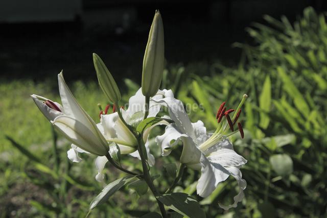 百合の花の写真素材 [FYI04136938]