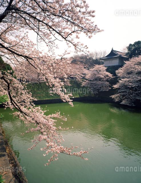 千鳥ヶ淵の桜の写真素材 [FYI04137081]
