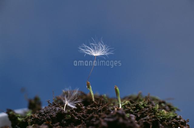タンポポの発芽の写真素材 [FYI04137121]