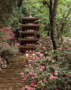 室生寺のホンシャクナゲの写真素材 [FYI04137146]