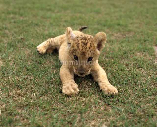 仔ライオンの写真素材 [FYI04137173]