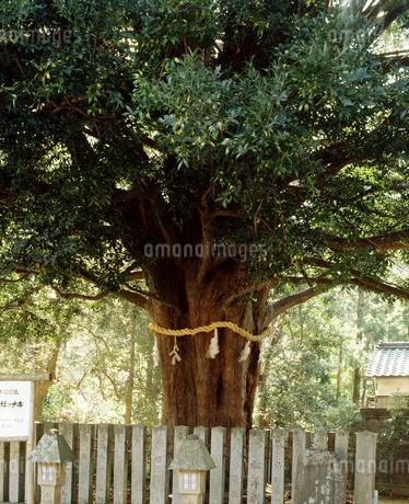 熊野速玉神社のナギ(国天然)の写真素材 [FYI04137229]