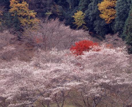 冬桜と紅葉の写真素材 [FYI04137231]