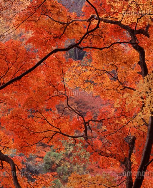 香嵐渓の紅葉の写真素材 [FYI04137234]