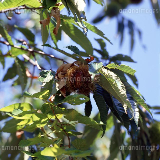栗の実の写真素材 [FYI04137238]