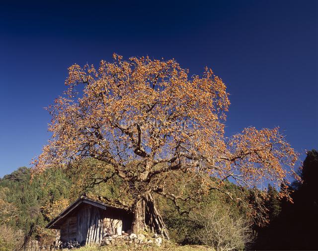 柿の木の写真素材 [FYI04137251]