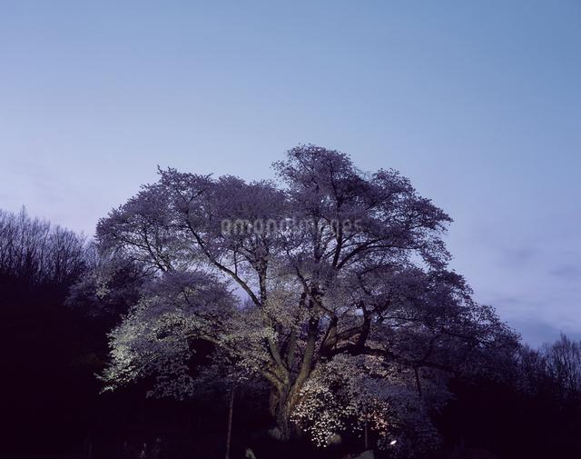 越代の桜(県天然)の写真素材 [FYI04137260]
