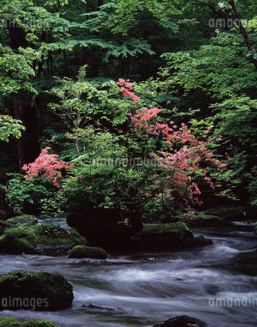 ツツジ咲く奥入瀬の写真素材 [FYI04137263]