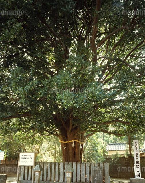 熊野速玉神社のナギ(国天然)の写真素材 [FYI04137273]