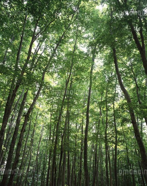 新緑のブナ林 美人林の写真素材 [FYI04137281]