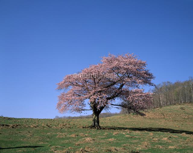 大山桜の写真素材 [FYI04137282]