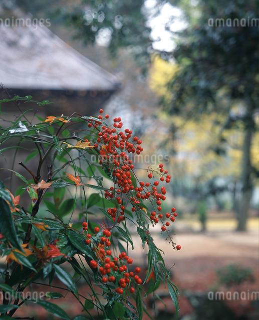 ナンテンの実 雨の高源寺の写真素材 [FYI04137297]