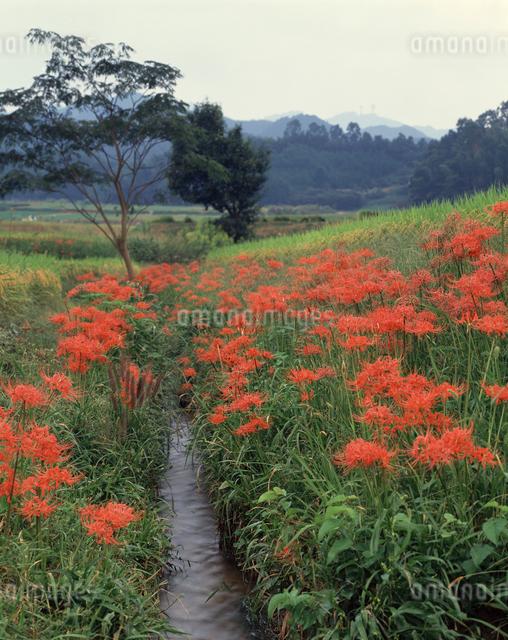 檜隈川の秋 彼岸花の写真素材 [FYI04137317]