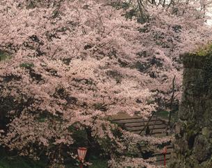 津山城の桜の写真素材 [FYI04137318]