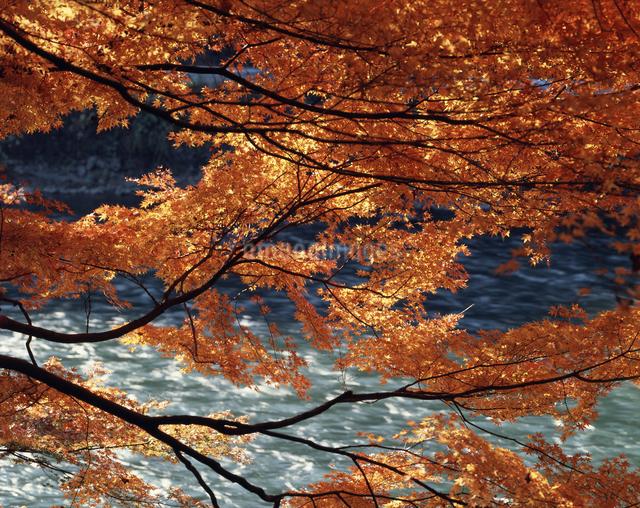 紅葉と宇治川の流れの写真素材 [FYI04137326]