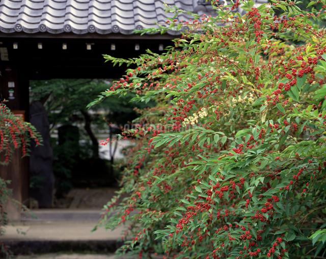 正覚寺の小紫の写真素材 [FYI04137339]