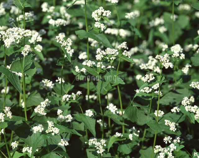そばの花の写真素材 [FYI04137341]
