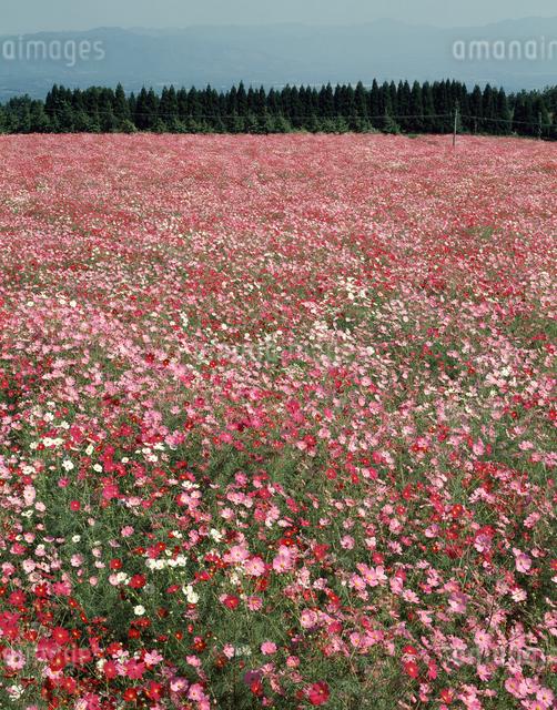 生駒山高原のコスモスの写真素材 [FYI04137360]