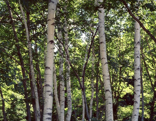 白樺林の写真素材 [FYI04137375]