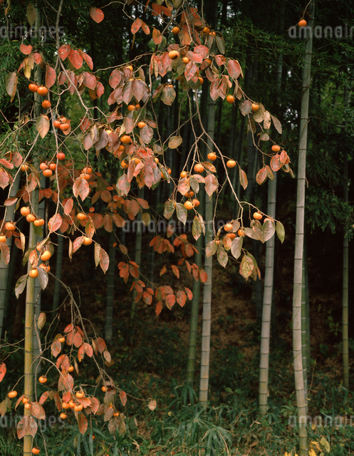 竹林と柿の木の写真素材 [FYI04137379]
