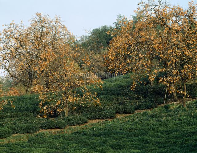 柿の木の写真素材 [FYI04137380]