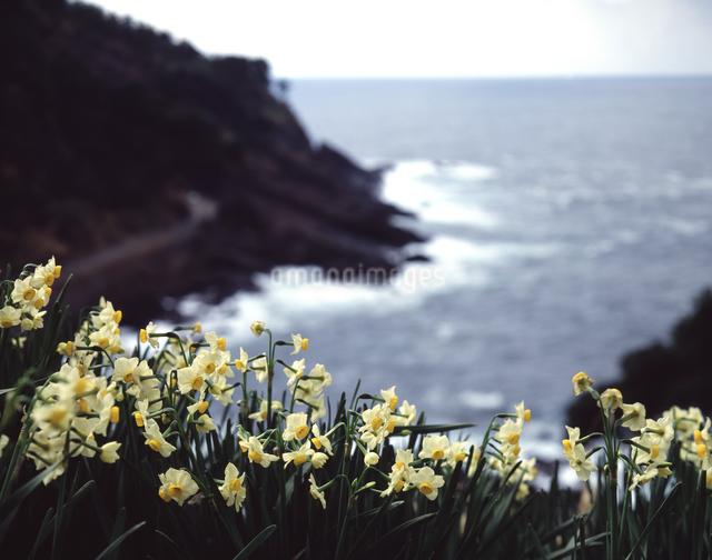 越前岬のスイセンの写真素材 [FYI04137385]