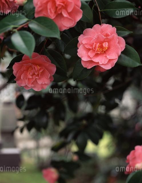 伝香寺の散り椿の写真素材 [FYI04137387]