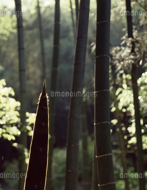 竹林の写真素材 [FYI04137388]