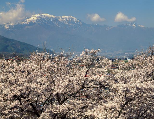 高遠の春 桜と南アルプスの写真素材 [FYI04137391]