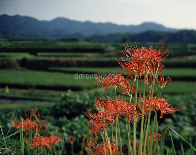ヒガンバナの写真素材 [FYI04137407]