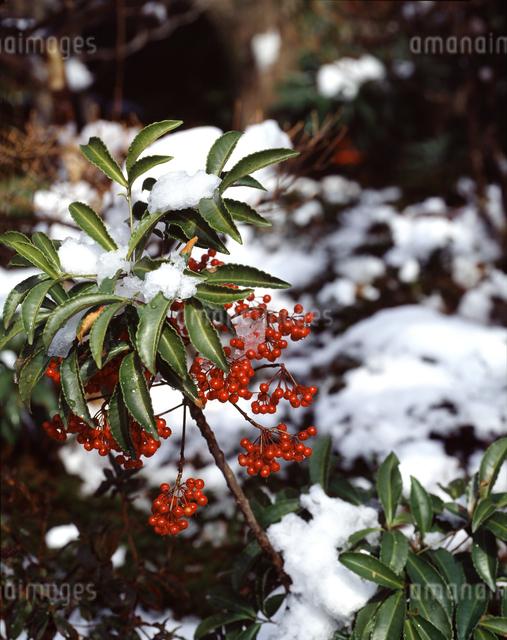 雪とマンリョウの実の写真素材 [FYI04137412]