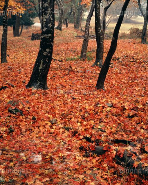 紅葉のじゅうたんの写真素材 [FYI04137423]