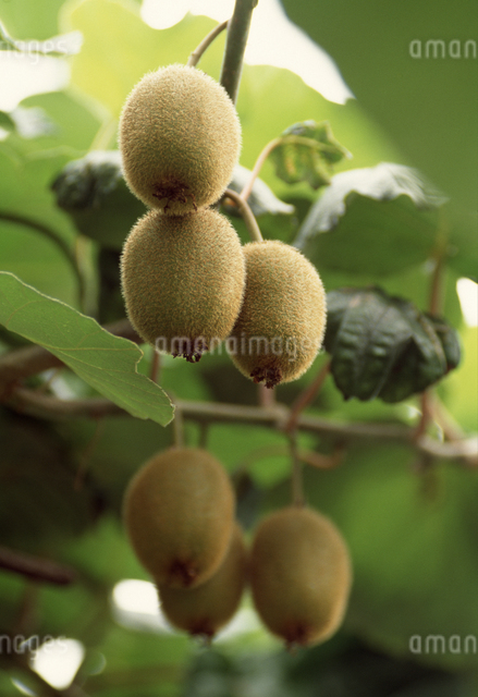 キウイフルーツの写真素材 [FYI04137492]