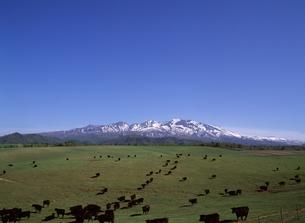 大雪アンガス牧場と大雪山の写真素材 [FYI04137508]