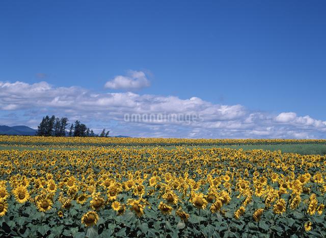 ヒマワリ畑の写真素材 [FYI04137511]