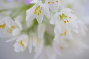 小さい白い花のアリュームのブーケの写真素材 [FYI04138490]